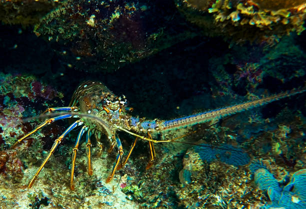 A lobster hiding in a cave seen while snorkeling in Roatan Honduras stock photo