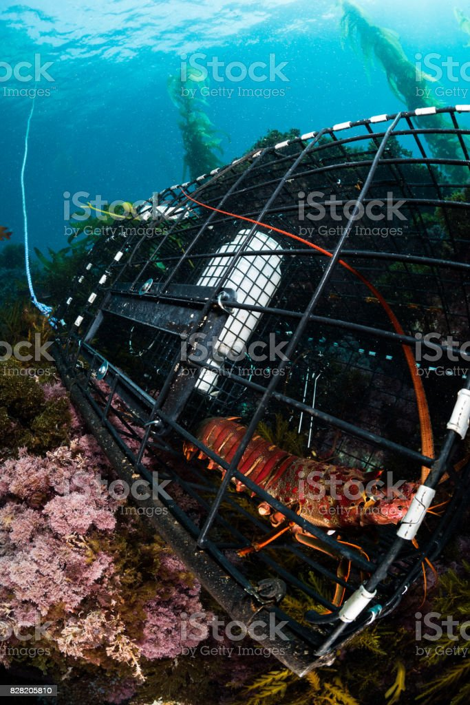 Lobster in a Commercial Trap stock photo
