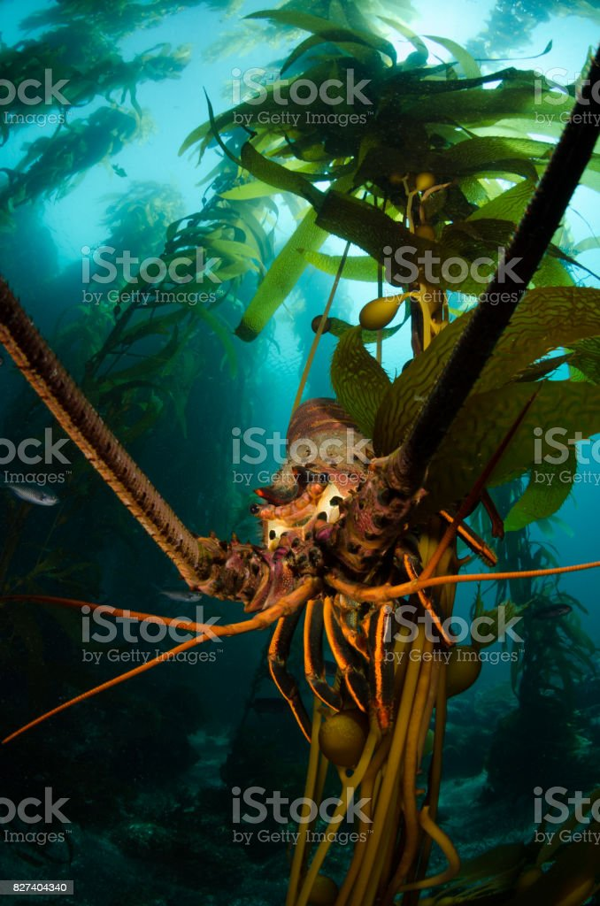 Lobster in Kelp stock photo