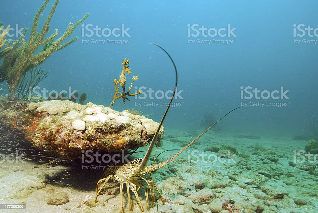 lobster in ocean stock photo
