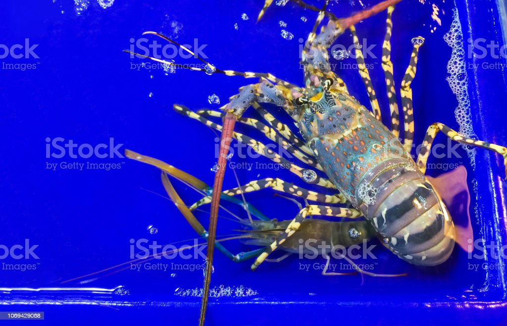 Lobster large size on a tray and container blue with water in market...