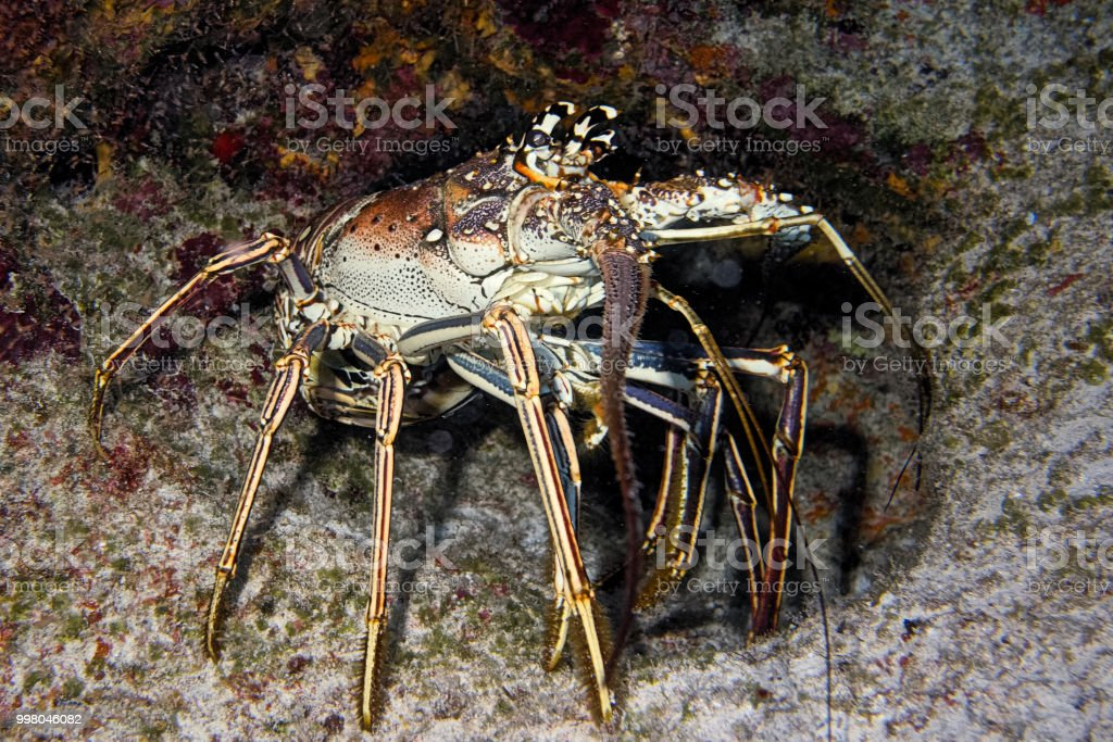 Lobster - Nassau, Bahamas stock photo