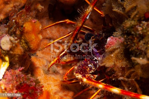 Lobster Sea life Underwater Scuba diver point of view Mediterranean sea