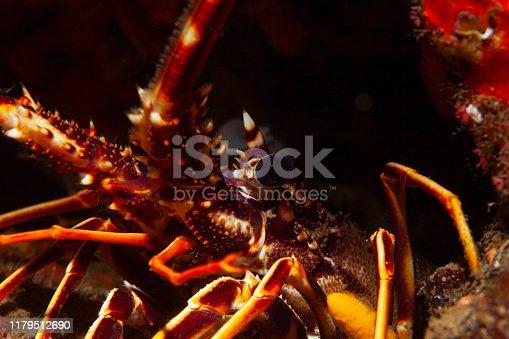 Lobster Sea life Underwater Scuba diver point of view Mediterranean sea