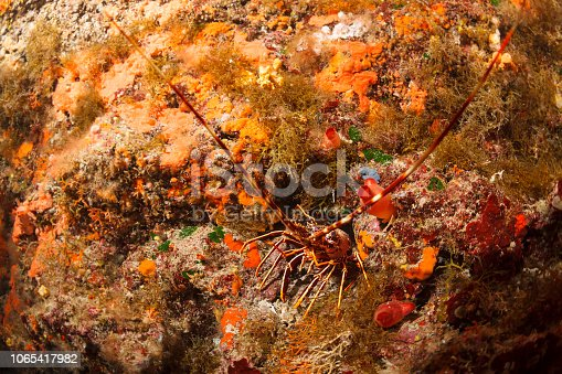 Lobster Sea life Underwater Scuba diver point of view