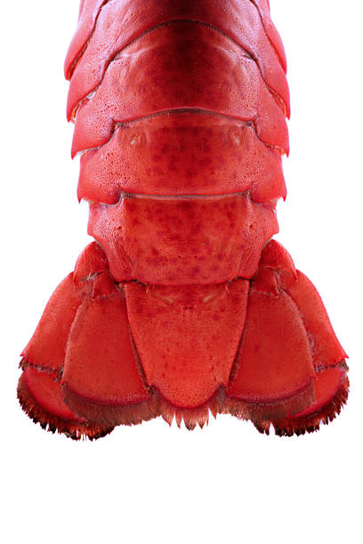Lobster Tail - Backlit stock photo
