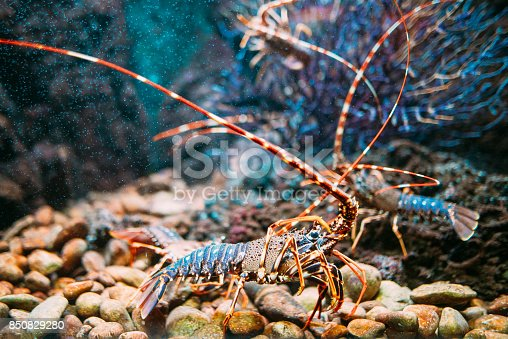 A lobster in captivity