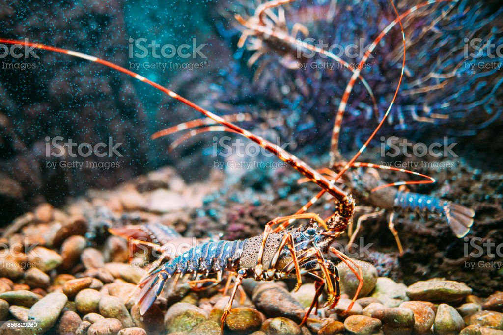 Lobster underwater stock photo