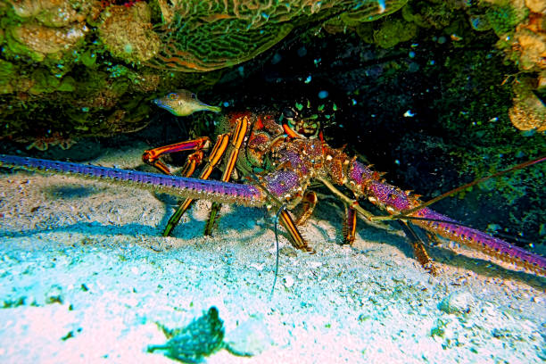A lobster we encountered in Nassau Bahamas while scuba diving in the ocean in the Caribbean stock photo
