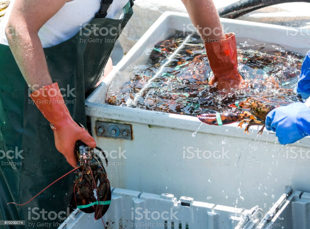 Lobster-man sorting fresh lobster on a boat stock photo