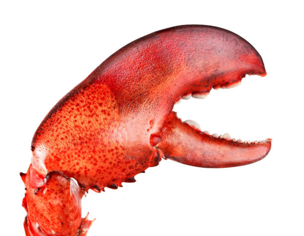 Lobster's claw Boiled Lobster's claw isolated on white background claw stock pictures, royalty-free photos & images