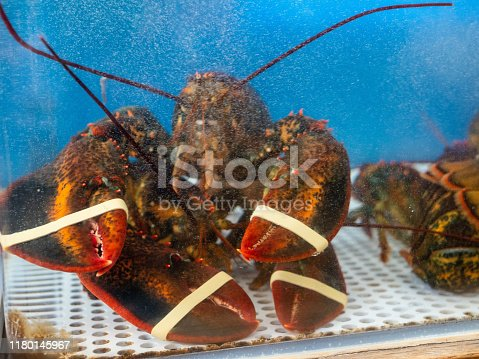 Lobsters prisoned in crowded tank in restaurant waiting to be cooked and served