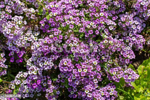 Lobularia blossom with purple lilac small flowers. Garden ornamental flowering plant, garden decoration lawn. Background backdrop top view