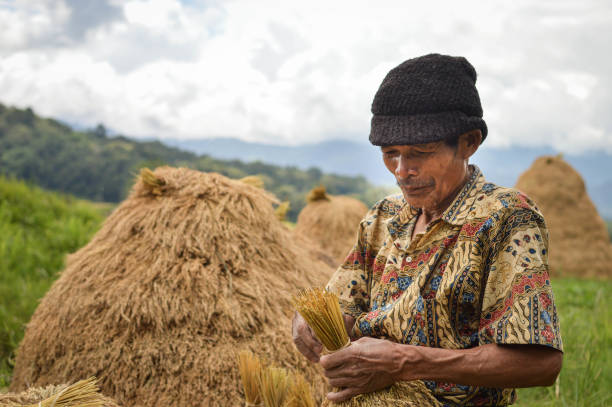 Sulawesi, Indonesia - July 8, 2018: Local farmer harvests rice in Tana Toraja highlands. South Sulawesi, Indonesia Sulawesi, Indonesia - July 8, 2018: Local farmer harvests rice in Tana Toraja highlands near Batutumongi village. South Sulawesi, Indonesia sulawesi stock pictures, royalty-free photos & images