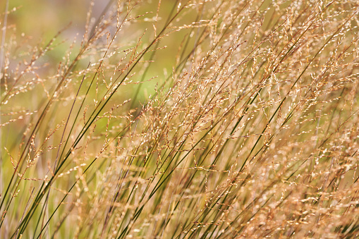 istock Local flora - yellow grass blades, most of it endemic to Madagascar growing in Andringitra National Park 1264271133