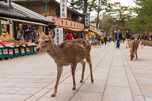 A local Japan deers in nara park. world heritage city in Japan