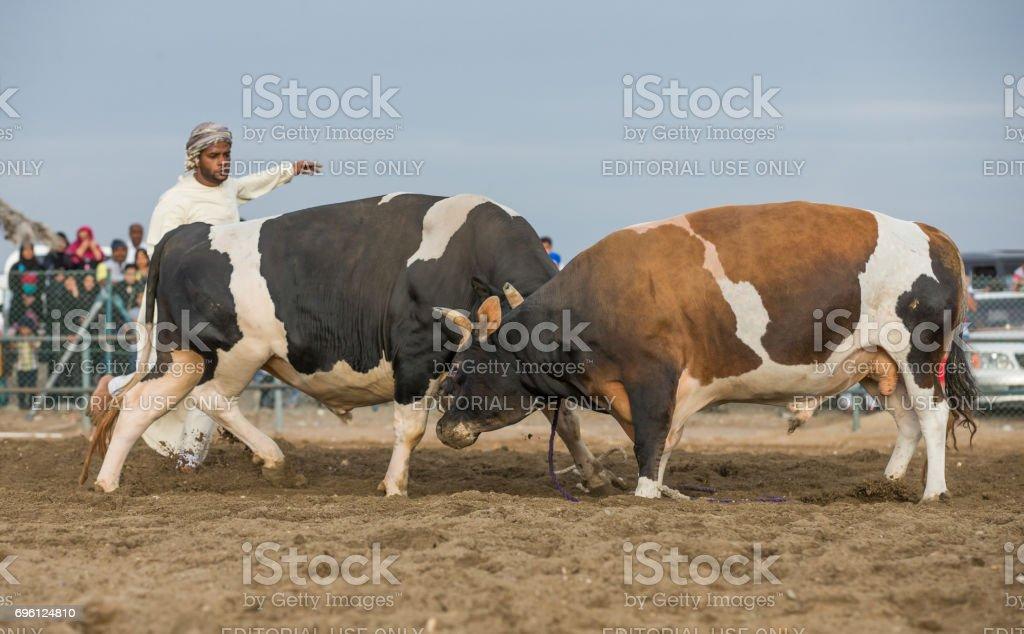 local man separating fighting bulls stock photo
