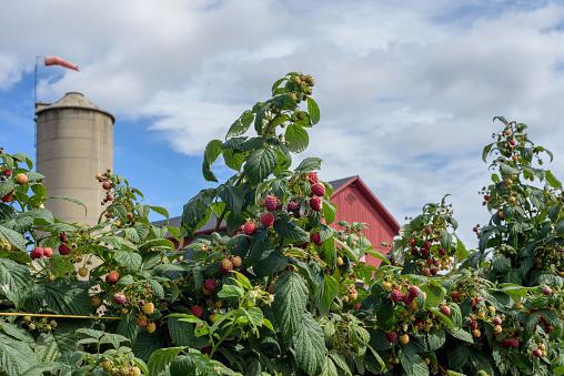 Local pick your own raspberry farm