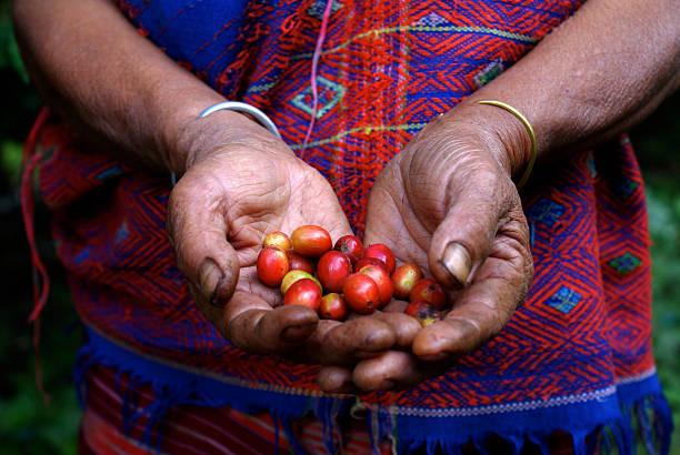 tailandesi chicchi di caffè agricoltore visualizzazione durante la vendemmia - coffee farmer foto e immagini stock
