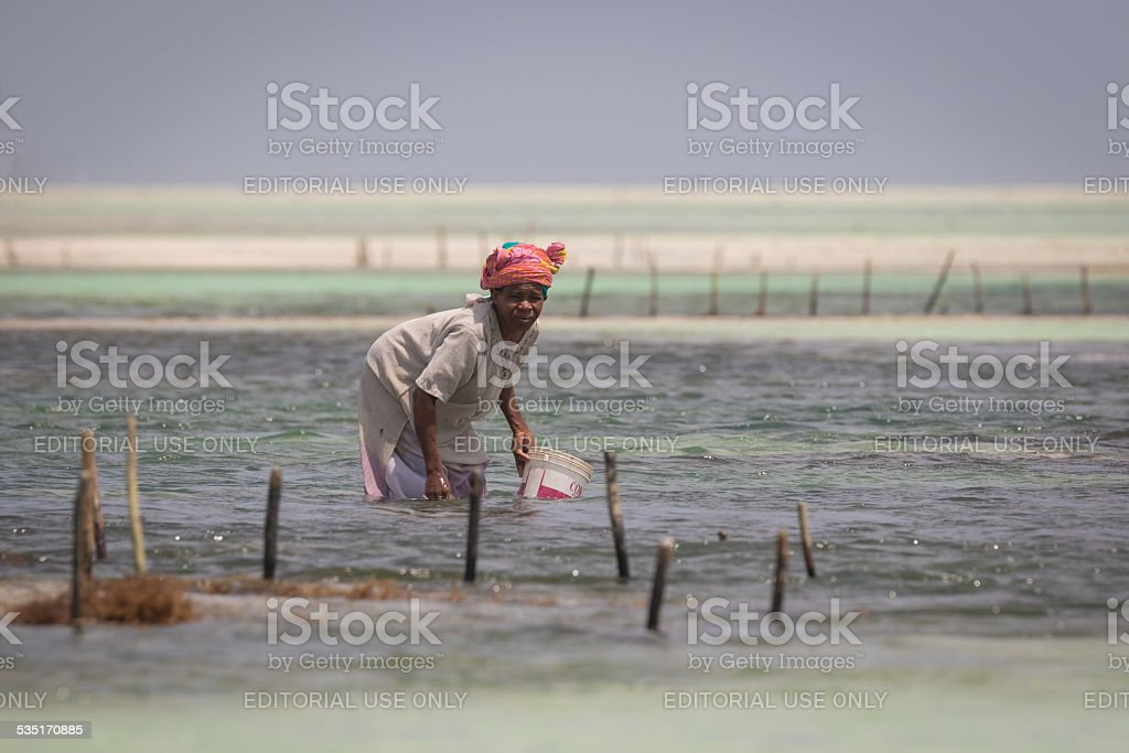 Local women harvesting sea weed from the Indian ocean. stock photo