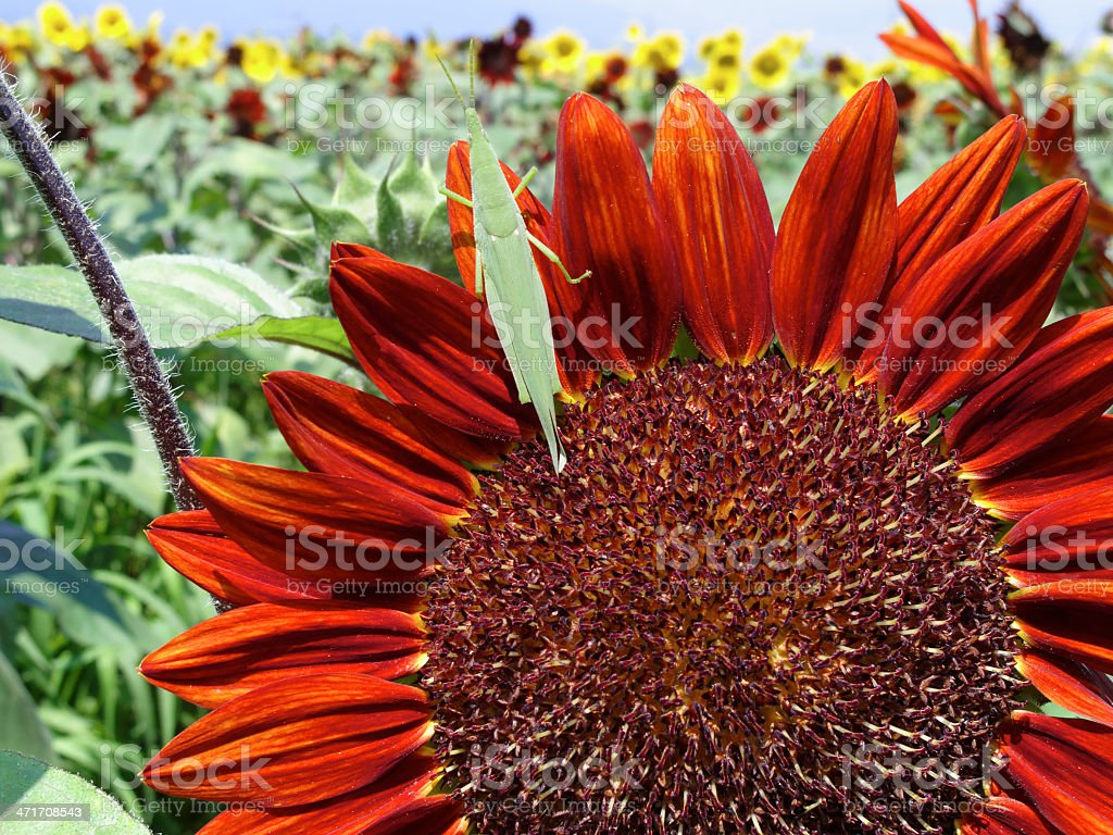 Locust and red sunflower royalty-free stock photo