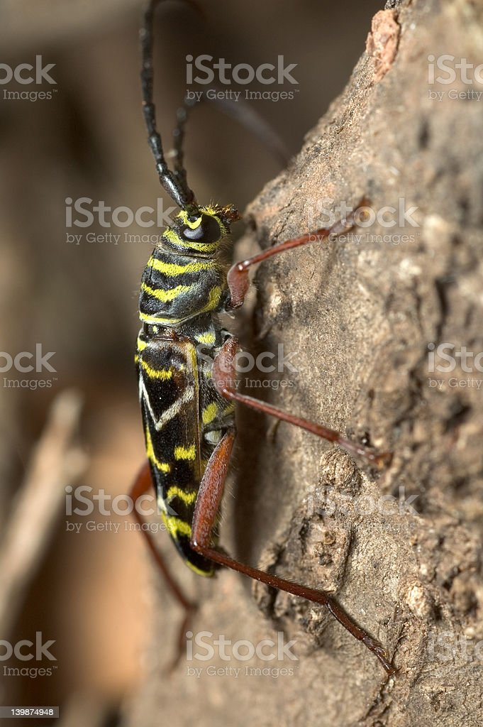 Locust Borer royalty-free stock photo