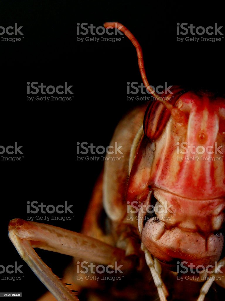 Locust close up royalty-free stock photo
