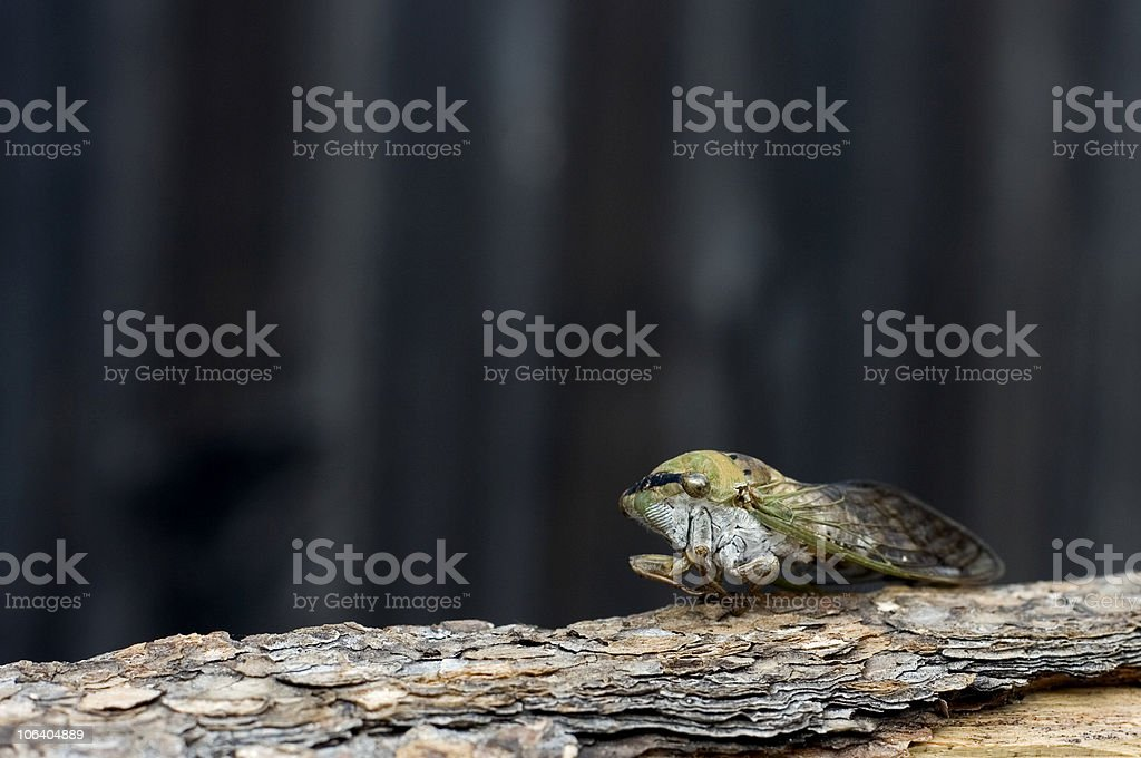 locust, does one make a swarm? royalty-free stock photo