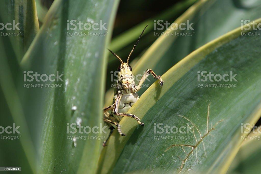 Locust / grasshopper on Agave plant. royalty-free stock photo