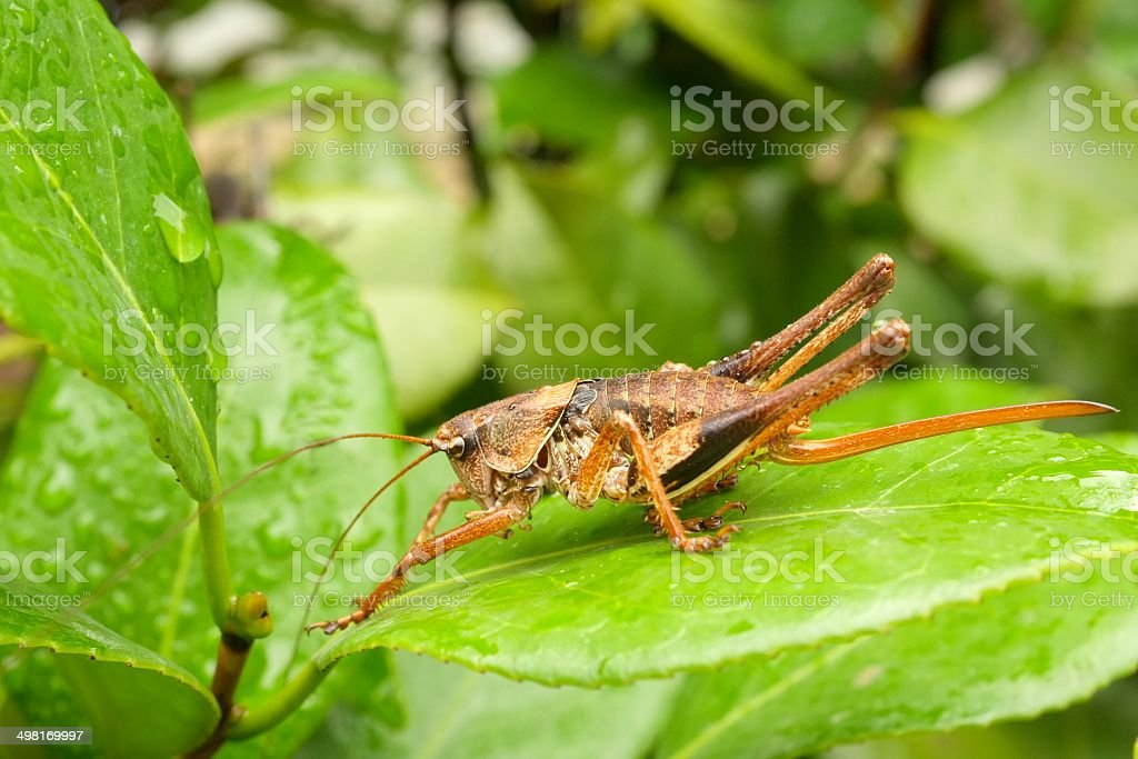 Locust grasshopper on leaf with rain water droplets royalty-free stock photo