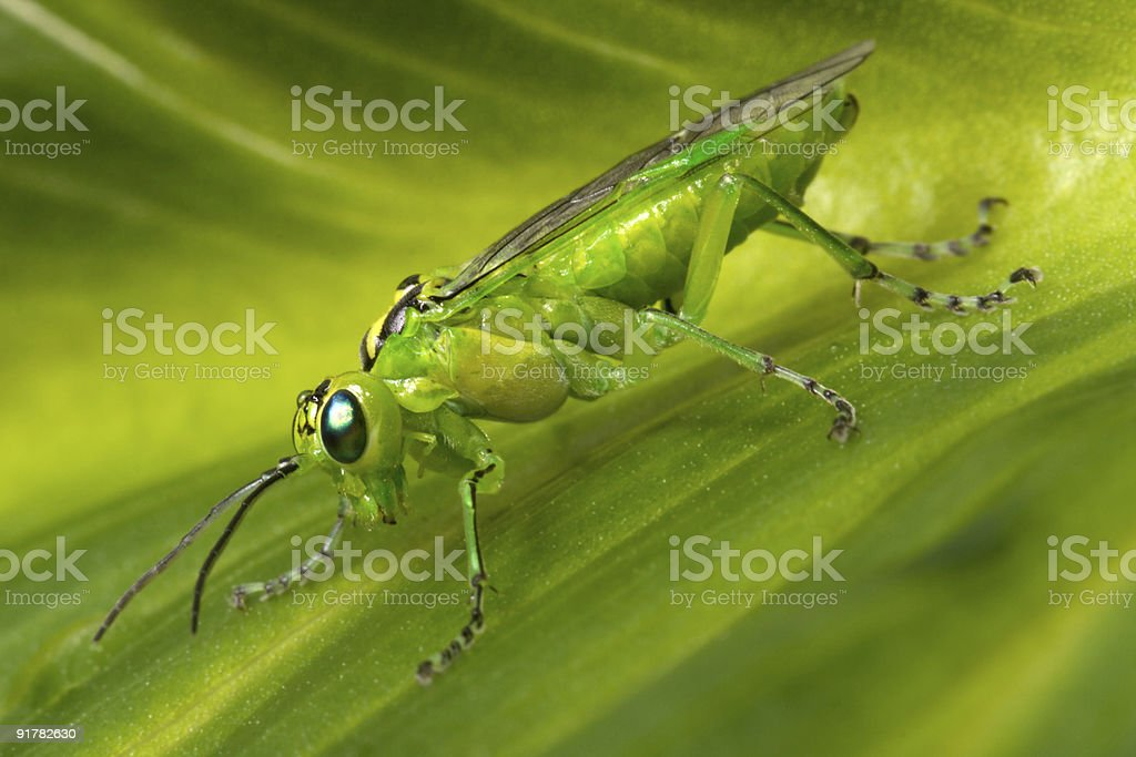 locust, hopper royalty-free stock photo