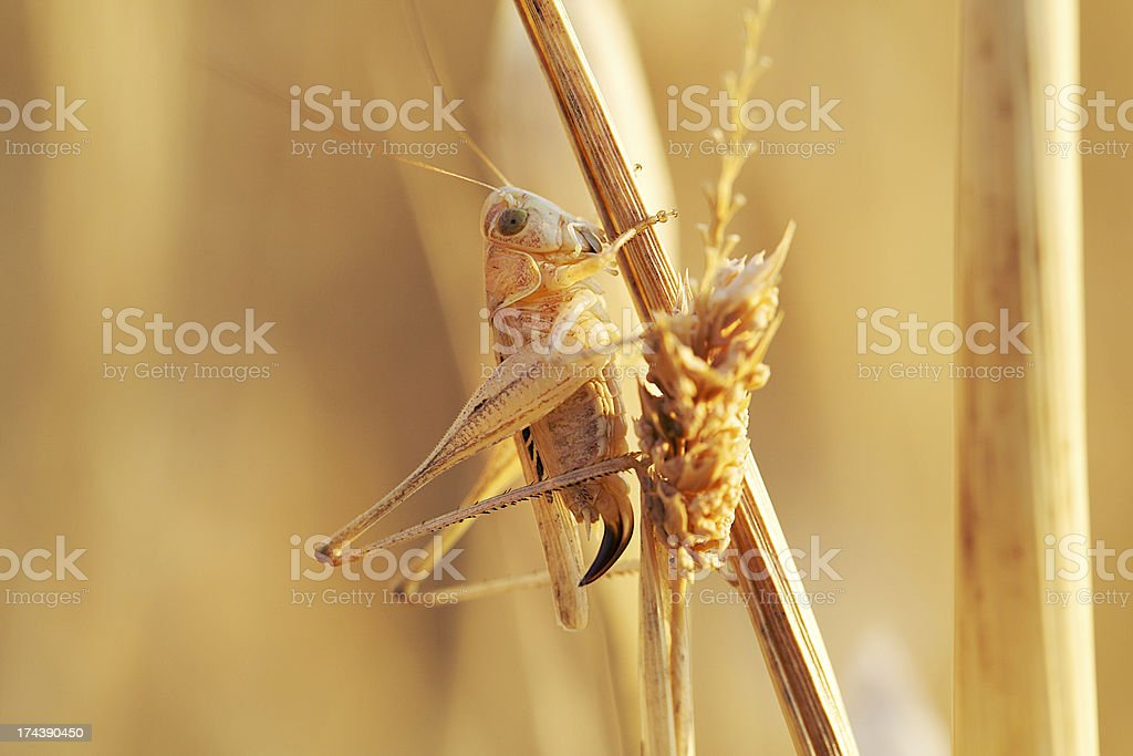 locust in the wheat field royalty-free stock photo