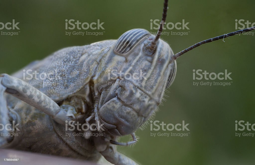 Locust insect macro royalty-free stock photo