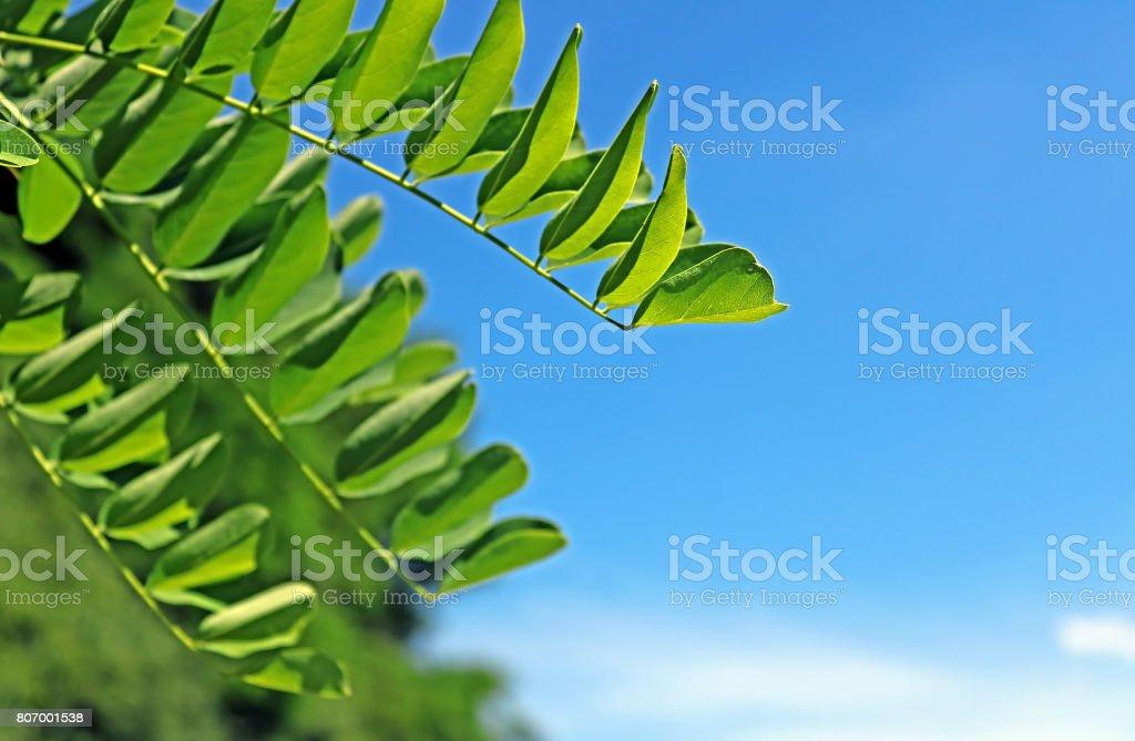Locust leaves over blue sky stock photo