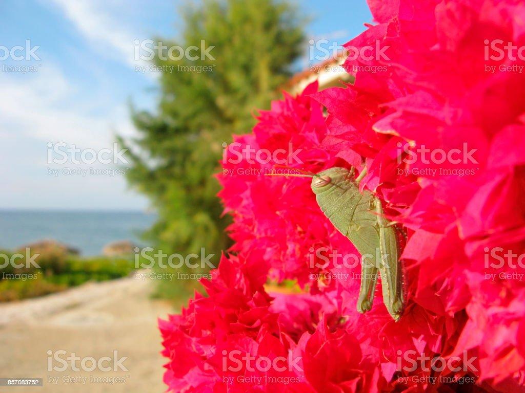 Locust on bougainvillea stock photo