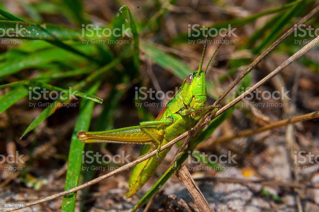Locust on grass stock photo