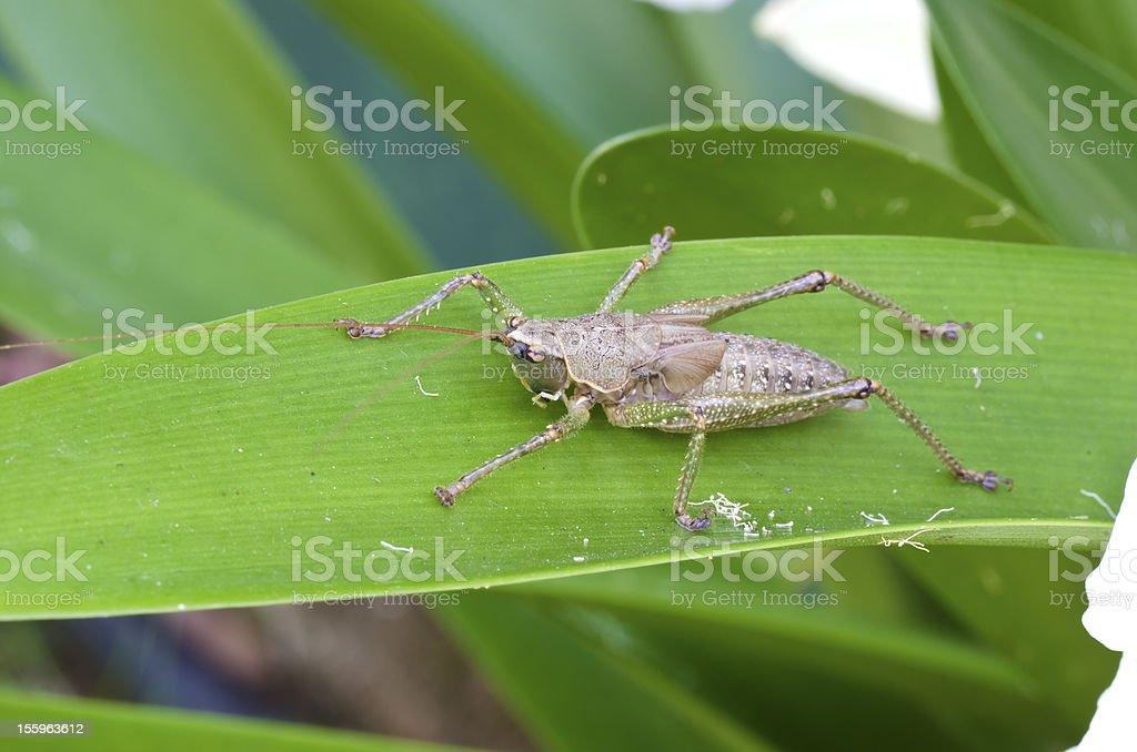 Locust on green leaf closeup macro shot royalty-free stock photo