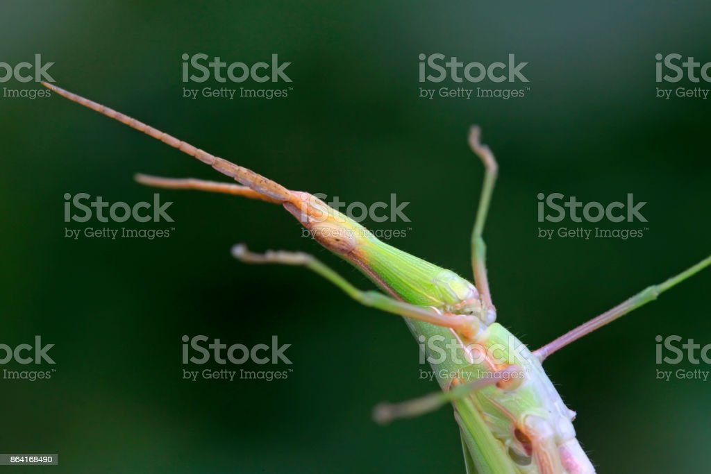 locust on green leaf in the wild royalty-free stock photo