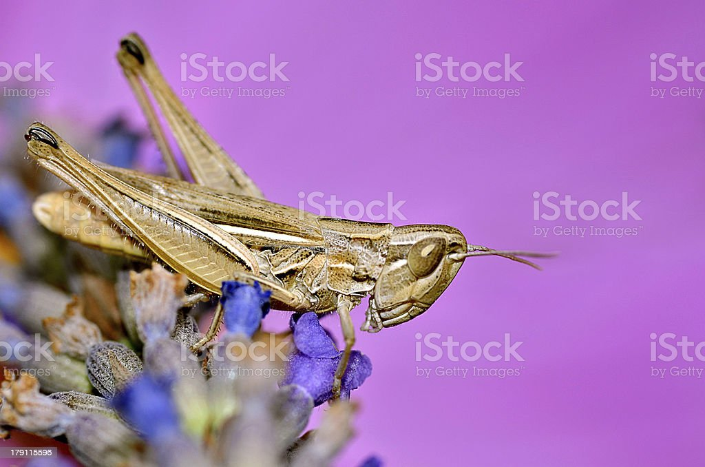 Locust on lavender flower royalty-free stock photo