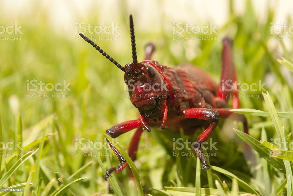 locust on lawn royalty-free stock photo