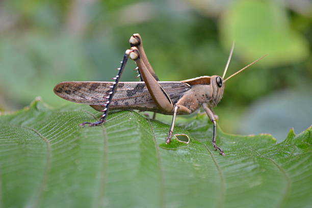 locust on leaf - locust swarm stockfoto's en -beelden