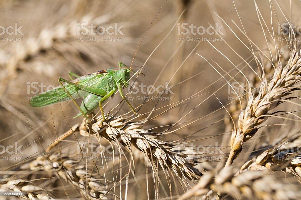 Locust on ripe wheat. stock photo