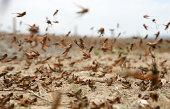 istock locust on the move 114413730