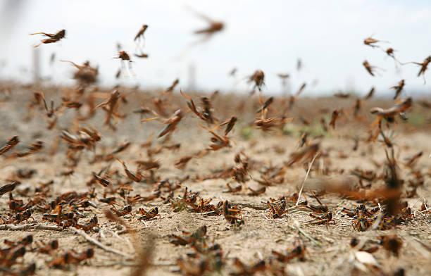 locust on the move - locust swarm stockfoto's en -beelden