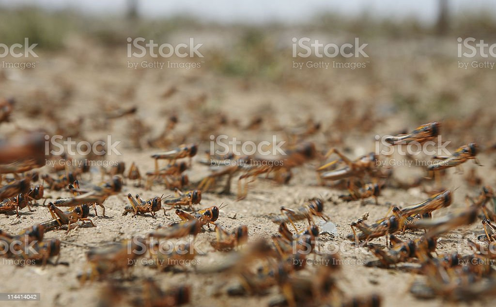 locust on the move royalty-free stock photo