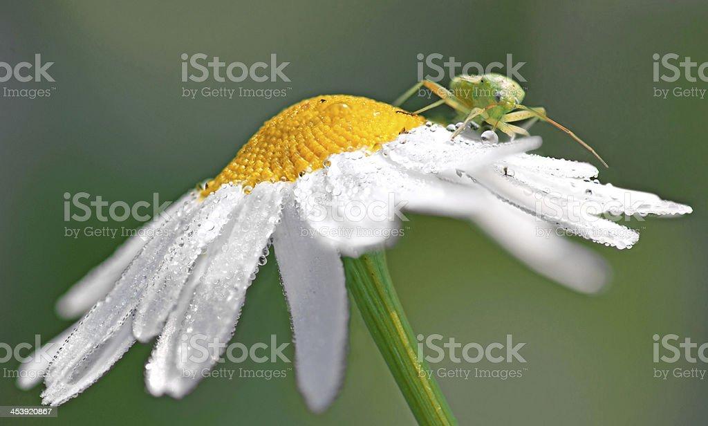 locust on wet daisy royalty-free stock photo