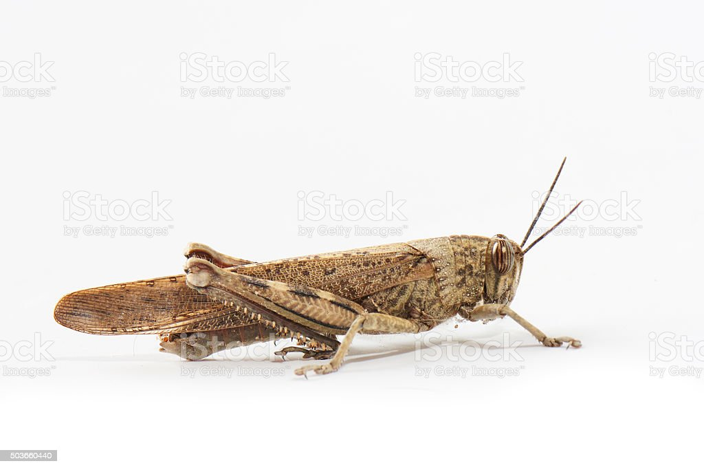 locust or grasshopper close up on a white background stock photo