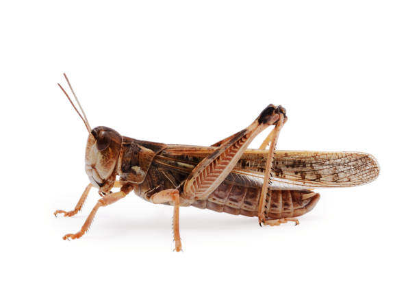 Locust Locust isolated on white background invertebrate stock pictures, royalty-free photos & images
