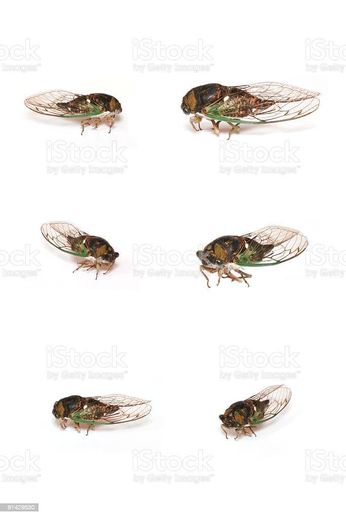 Locust royalty-free stock photo