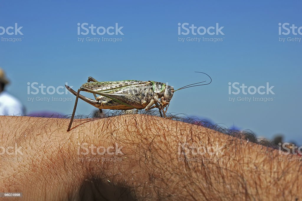 Locust royalty-free stock photo